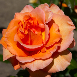 Rose Bush Doris Tysterman Hybrid Tea Orange 4Ltr