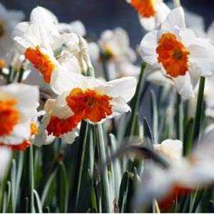 Daffodil Bulbs Large Cupped Professor Einstein 5 Per Pack
