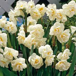 Narcissus Double Bulbs Bridal Crown (Daffodil) 10 Per Pack