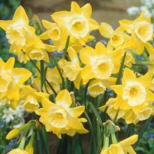 Narcissus Jonquilla Bulbs Hillstar (Daffodil) 10 Per Pack