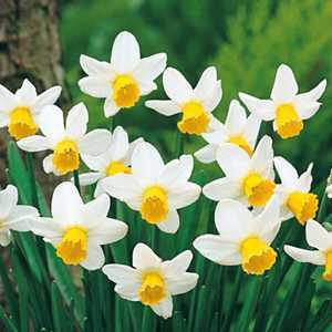 Narcissus Cyclamineus Bulbs Jack Snipe (Daffodil) 10 Per Pack