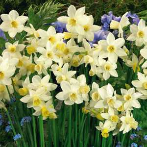 Narcissus Jonquilla Bulbs Sailboat (Daffodil) 10 Per Pack