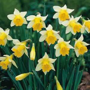 Narcissus Trumpet Bulbs Topolino (Daffodil) 10 Per Pack