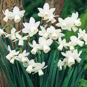 Narcissus Triandrus Bulbs Tresamble (Daffodil) 10 Per Pack