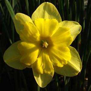 Narcissus Split Corona Bulbs Tripartite (Daffodil) 10 Per Pack