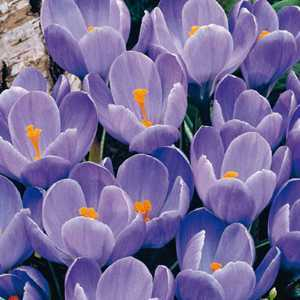 Crocus Bulbs Vernus Blue 50 Per Pack