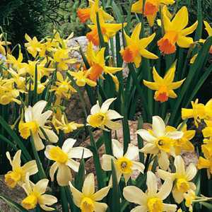 Narcissus Miniature Bulbs Rockery Mixed (Daffodil) 25 Per Pack