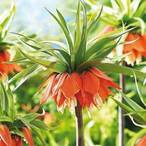 Fritillaria Imperialis Bulb Red 1 Per Pack
