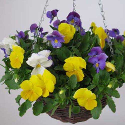 Pansy Plentifall Hanging Baskets 12 inch