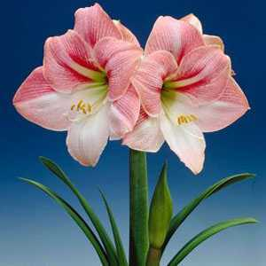 Amaryllis royal bulbs apple blossom 1 per pack for Amaryllis royal