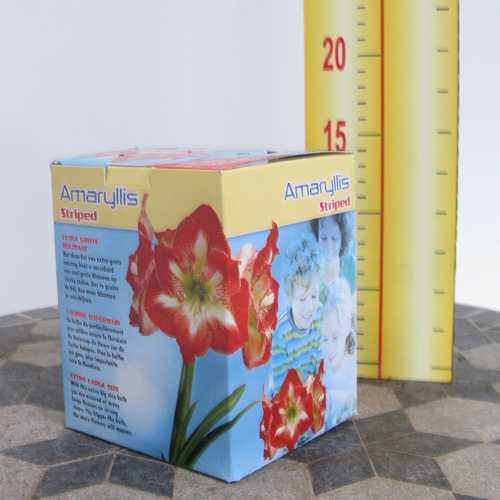 Amaryllis Royal Bulbs (Striped) Giftboxes 1 Per Pack