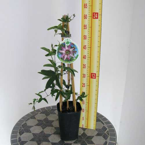 Cheap Passiflora Victoria Passion Flower Buy Passion Flowers Online