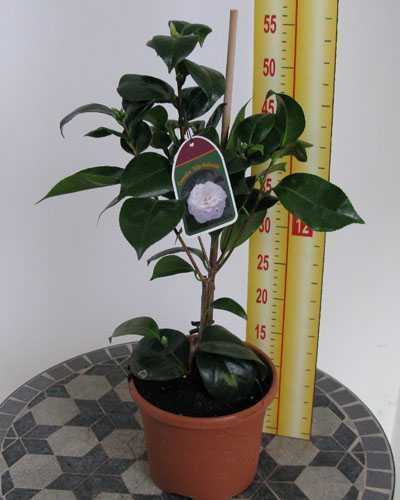 Camellia Japonica Philip Albrecht (White) 3Ltr