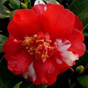 Camellia Japonica Nikisi Kerin (Pink & White) 3Ltr