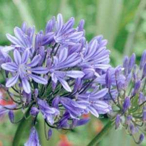 Agapanthus Bluestorm African Lily (Lily Of The Nile)