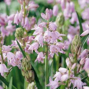 Hyacinthoides Hispanica Pink Bulbs 10 Per Pack (Spanish Bluebells)