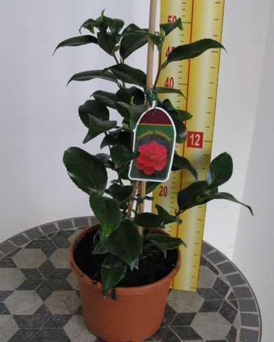 Camellia Japonica 'Williamsi'