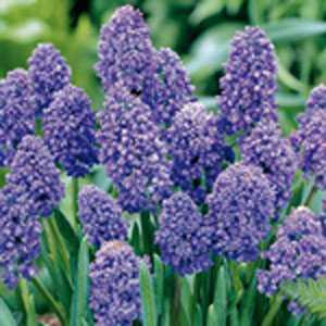Muscari Armeniacum Blue Spike (Double Grape Hyacinths) Bulbs 20 Per Pack