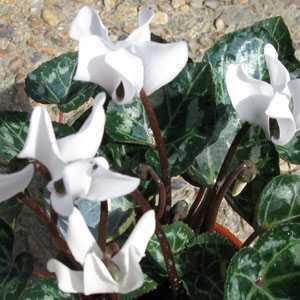 Cyclamen Mini Winter Potted  (White) 10.5cm