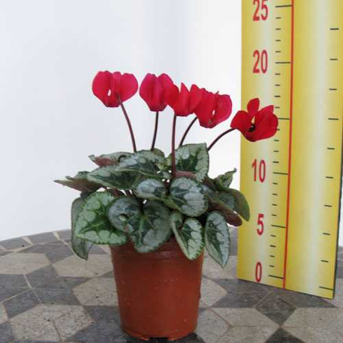 Cyclamen Winter Potted Mini (Red) 9cm