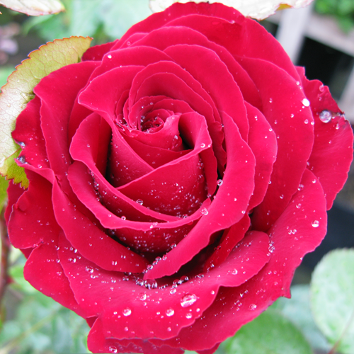 Rose Bush Hybrid Tea Lady Rose (Soft Red) 4ltr