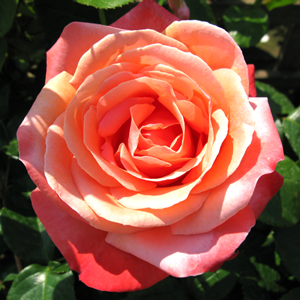 Rose Bush Hybrid Tea Lovers Meeting (Bright Orange) 4Ltr