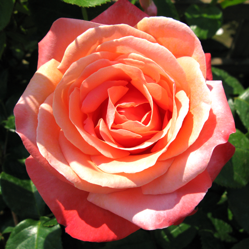 Rose Bush Hybrid Tea Lovers Meeting (Bright Orange) 4Ltr