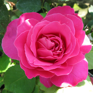Rose Bush Hybrid Tea Pink Peace (Pink) 4Ltr