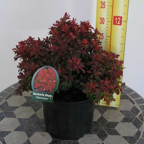 Berberis Thunbergii Admiration (Barberry Hedging)