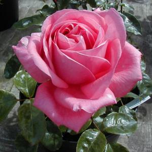 Rose Bush Hybrid Tea Special Anniversary (Pink) 4Ltr