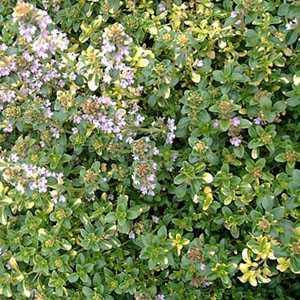Thymus x Citriodorus Doon Valley Thyme 9cm Pot