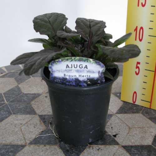 Ajuga Reptans Braun Hertz Bugleweed Carpet Bugle 9cm Pot