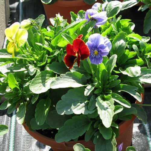 Viola Pots Mixed Colours