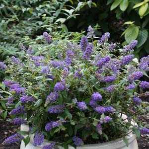 Buddleia Blue Chip  (Buddleja) Butterfly Bush