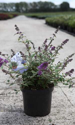 Buddleia Blue Chip  (Buddleja) Butterfly Bush