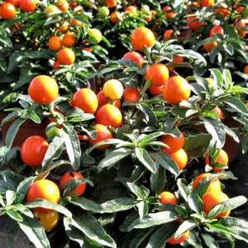 Solanum Capsicastrum (Christmas Cherry)