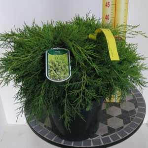 Thuja Occidentalis Golden Globe (Conifer) 7.5Ltr