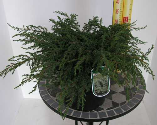 Juniperus (Juniper) Communis Repanda 40-50cm 7.5Ltr