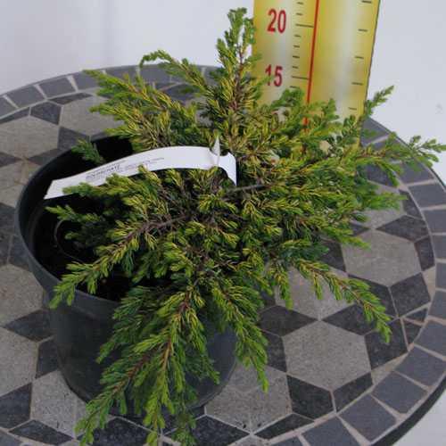 Juniperus Chinensis Goldschatz (Juniper)