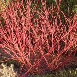 Cornus Alba Sibirica (Red Barked Dogwood )15Ltr