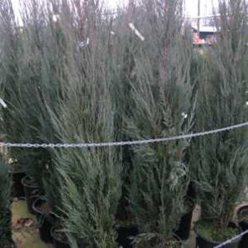 Juniperus Scopulorum Blue Arrow (Blue arrow Juniper)