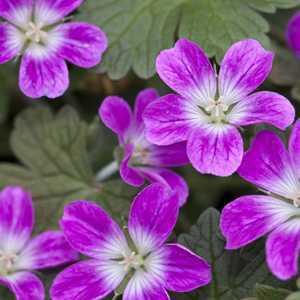Geranium (Hardy) Orkney Pink 3Ltr