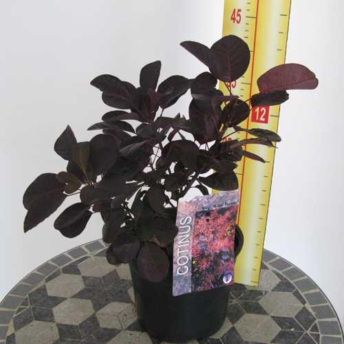 Cotinus Coggygria Royal Purple (Smoke Bush)