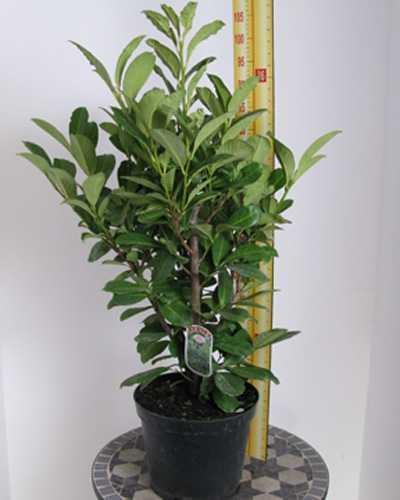 Laurel Hedging (Common or Cherry Laurel)  Prunus Rotundifolia 140-160cm 10Ltr