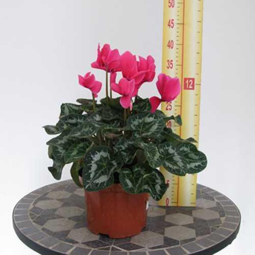 Cyclamen Deep Pink 1 Litre Pot