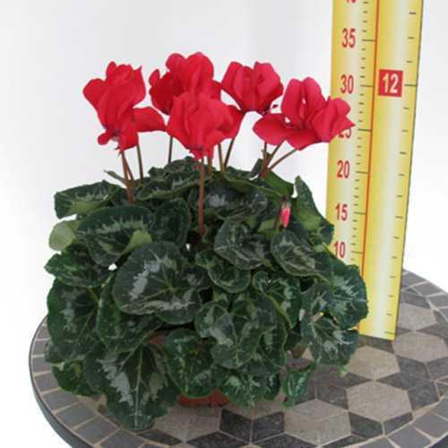 Cyclamen Red 1 Litre Pot