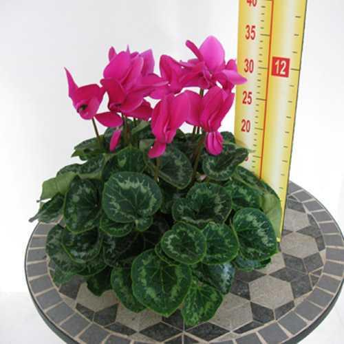 Cyclamen Cerise Pink 1 Litre Pot