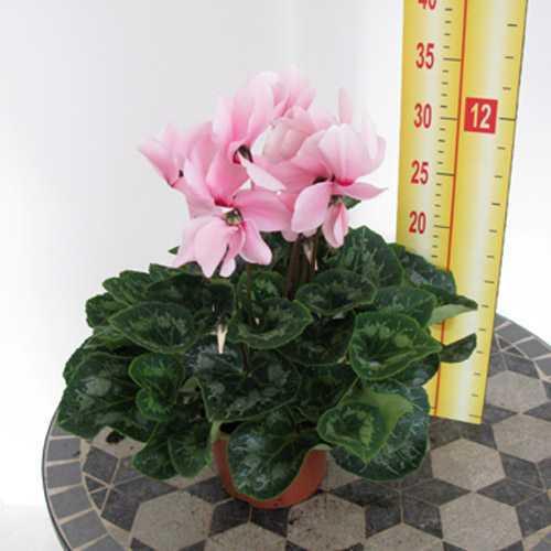 Cyclamen Baby Pink 1 Litre Pot