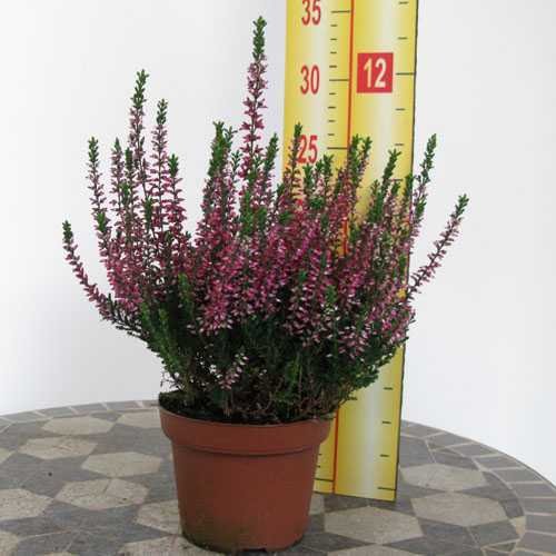 Calluna Vulgaris (Heather) Dark Pink 12cm Pot