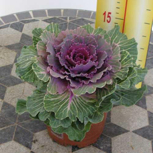 Ornamental Cabbage Plant (Brassica Oleracea) Green/Purple